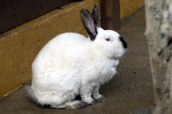 """""""Conejo blanco"""""""