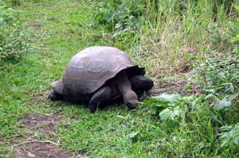 """Tortuga Gigante, Geochelone elephantopus, Ecuador"""