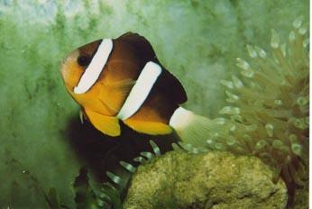 """Pez payaso de cola amarilla (Amphiprion clarkii)"""