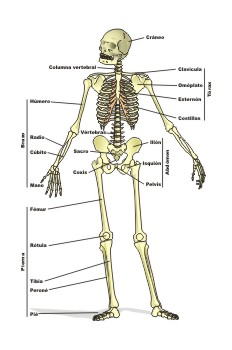 """""""Esqueleto del ser humano"""""""
