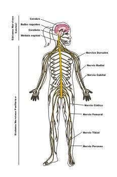 """""""Sistema nervioso del ser humano"""""""