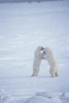 """""""Pareja de osos polares u osos blancos (Ursus maritimus) luchando, Canadá"""""""