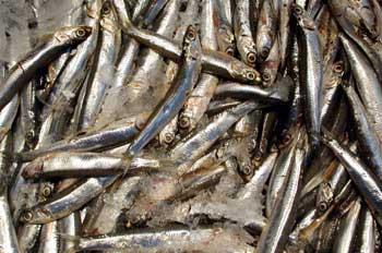 pesca h587_m.jpg